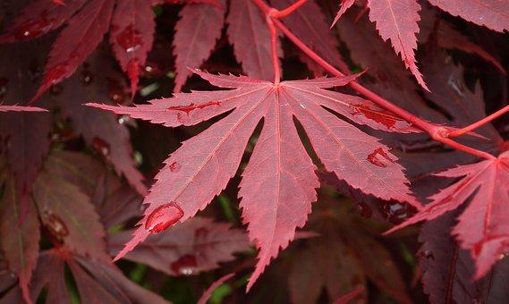 Leaf, Clone, Red, Drops, Spring