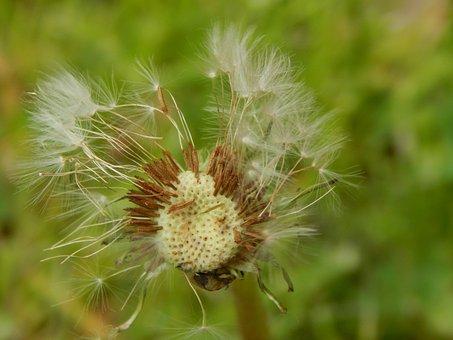 Chmíří, Grass, Nature, Faded Dandelion, Dandelions