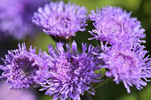 Floss Flower, Ageratum Houstonianum, Blue, Violet