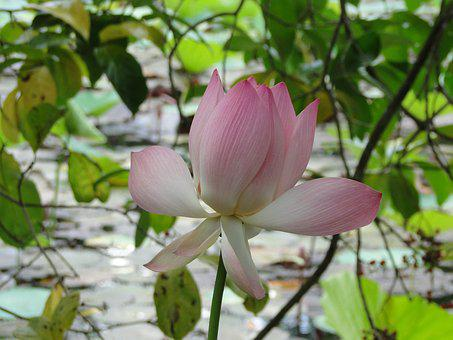 Flower, Swamp, Plant, Nature, Water, Lily, Wild