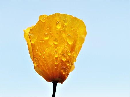 Poppy, Yellow, Rain, Flower