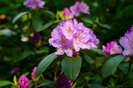 Rhododendron, Flowers, Early Summer, Shadow, Purple