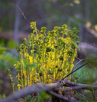 Fern, Sun, Forest, Plant, Nature, Greens, Macro