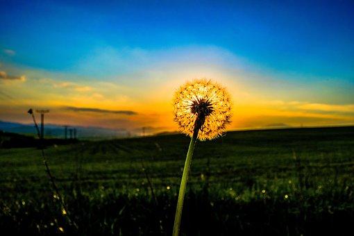 Dandelion, Odkvetlá Plant, Flower, Sky, Heaven, Meadow