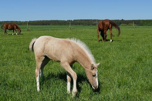 Palomino Foal, Colt Browsing, Horses Fox Color
