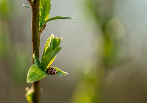 Ladybug, Insect, Macro, Sheet, Branch