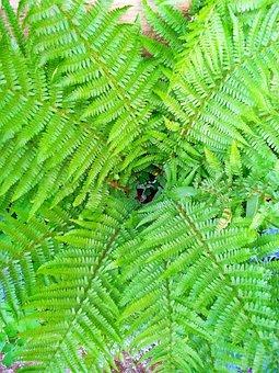 Leaf, Nature, Plant, Summer, Fern