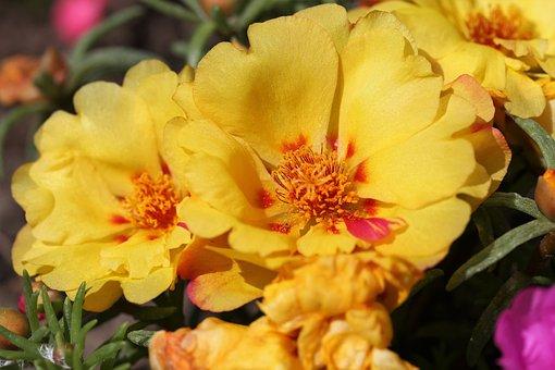 Moss Rose, Portulaca Grandiflora, Yellow, Macro, Spring