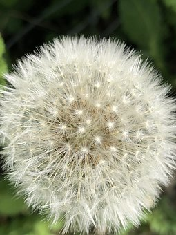 Dandelion, Macros, Grey, Dandelion Seeds