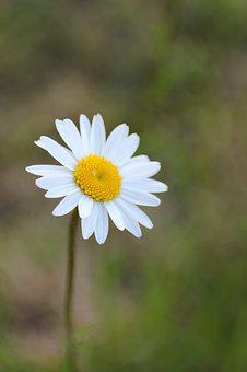 Marguerite, Meadow, Meadow Margerite, White, Blossom