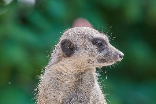 Meerkat, Supervisor, Guard, Watch, Nature, Mammal