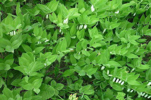 Solomon's Seal, Forest Flower, White, Mountain Meadow