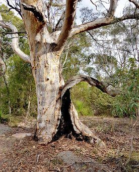 Gumtree, Australia, Bush, Eucalyptus, Natural, Gum