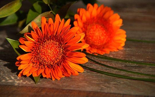 Nature, Flower, Plant, Summer, Floral, Orange, Gerbra