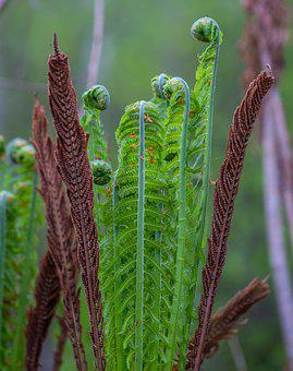 Fern, Plant, Nature, Forest, Greens, Green