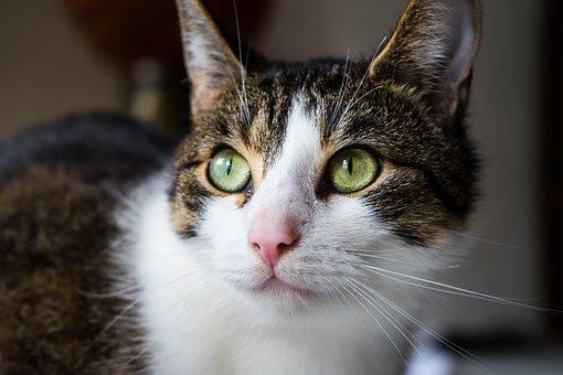 Cat, Pet, Animal, Fur, Cute, Eye, Domestic Cat