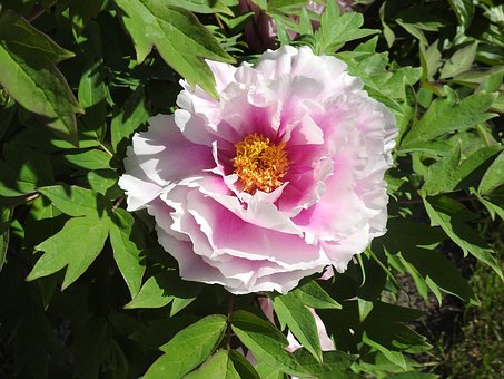 Peony, Flower, Garden, Plants, Spring, Nature, Closeup