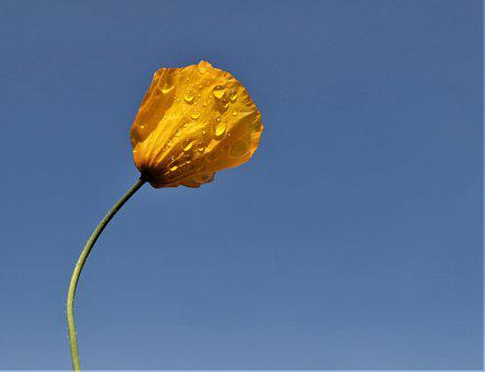 Poppy, Yellow, Rain, Flower, Sky