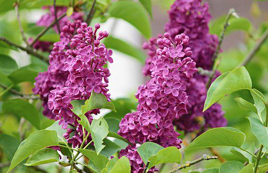 Lilac, Violet, Purple, Bloom, Nature, Bush