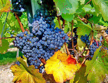 Red Grapes, Fall Harvest, Ripe Fruit
