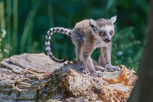 Monkey, Lemur, Young Animal, Ring Tailed Lemur