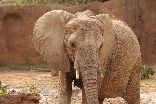 Elephant, Zoo, Gray, Wildlife, Safari, Africa, Trunk