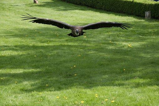 White-backed Vulture, Vulture, Scavengers, Flugshow