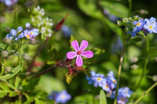 Soapwort, Carnation, Blossom, Bloom, Plant, Wild Flower