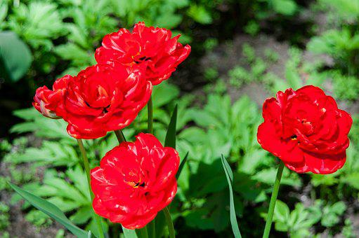 Flowers, Tulips, Spring, Spring Flowers, Handsomely