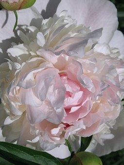 Flower, Tuberose