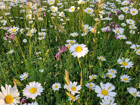 Meadow, Flowers, Nature, Bloom, White, Yellow, Pink