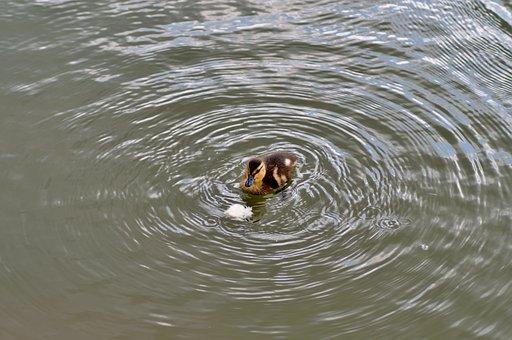 Spinning Top, Duck, Water Bird, Wild, Feeding, Pond