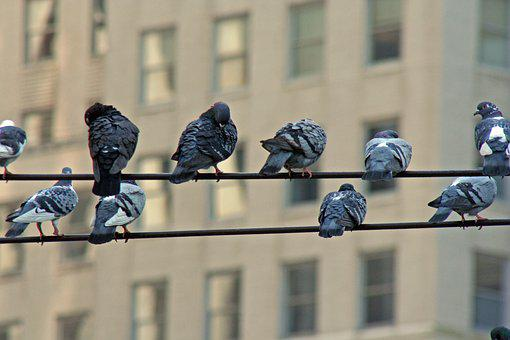 Birds, Wire, Flock, Electric, Sitting, Electricity