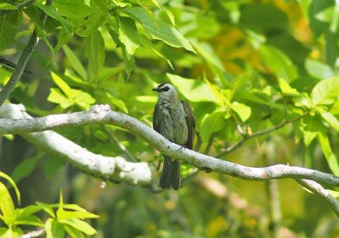 Yellow, Vented, Bulbul, Bird, Park, Tree, Branch