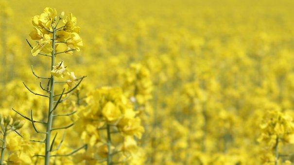 Oilseed Rape, Rapeseed, Rape, Agriculture, Yellow, Oil