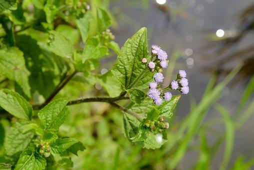 Ageratum Ageratum, Trees, Flowers, Five Spices