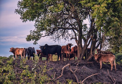 Cattle, Flock, Cows, Pasture, Agriculture, Animals, Cow