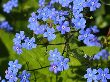 Blue, Spring, Forget Me Not, Blue Flower, Flowers