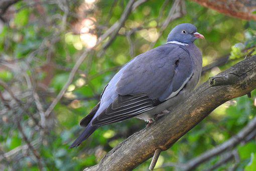 Dove, Branch, Bird On A Tree, Collared Dove