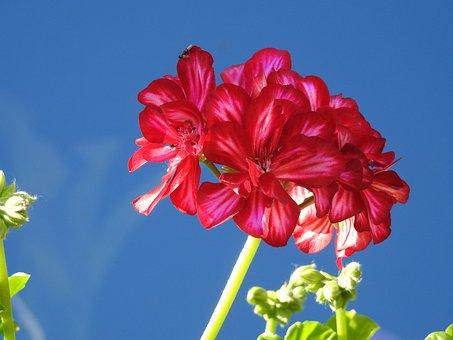Geranium, Flower, Full Bloom, Closeup