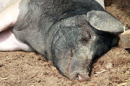 Saddleback, Sleep, Hesse Park, Livestock, Creature
