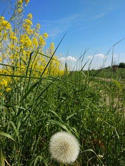 Dandelion, Rape, Grass, Nature, No One, Outdoors, Plant