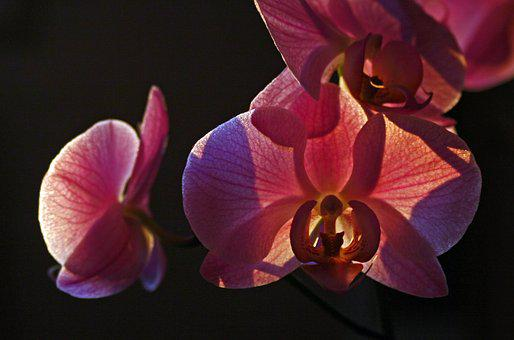 Orchid, Pink, Against The Light, Decorative