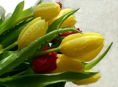 Tulip Bouquet, Drop Of Water, Spring, Yellow Colorful