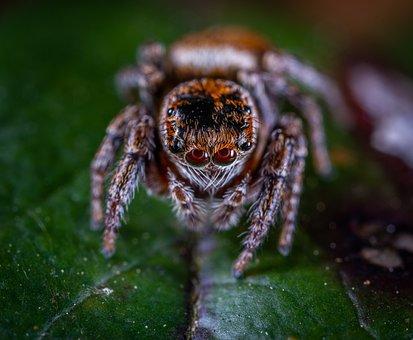 Spider, Arachnids, Spider-racer, Portrait, Eyes