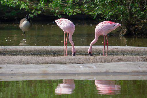 Flamingos, Pink, Pink Flamingos, Birds, Bird