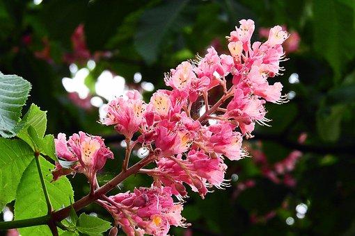 Horse Chestnut Red, Nature, Spring, Flower Chestnut