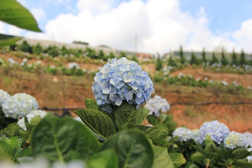 Flower, Color, Travel, Dalat, Origin United, Vietnam