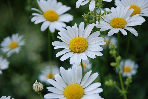 Chamomile, Flower, Summer, Yellow Center, White Flowers