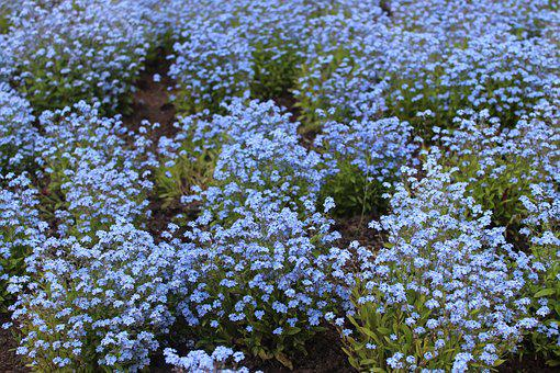 Flower Bed, Forget Me Not, Blue Forget Me Not